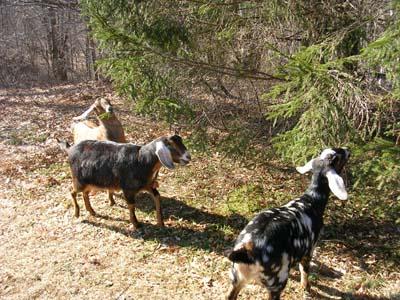 goats 2