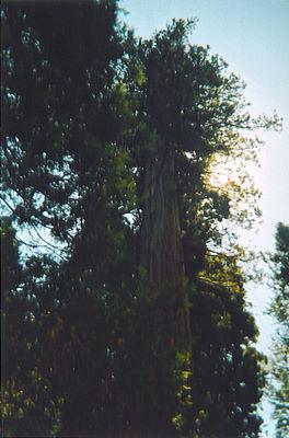 Sequoia at Campsite