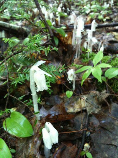 Ghost plant closeup