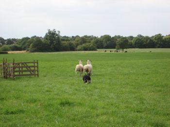 general sheepdog