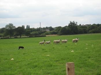 sheepdog 1