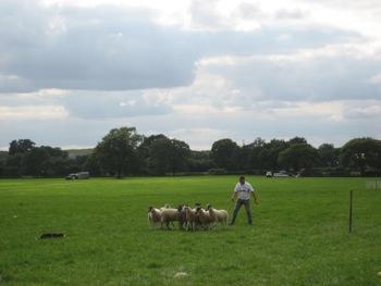 sheepdog 2